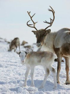 Reindeer mother and baby
