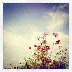 Cosmo Flowers :)