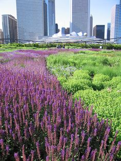 more of the blue river...  salvia at the lurie garden in chicago.  designed by piet oudolf