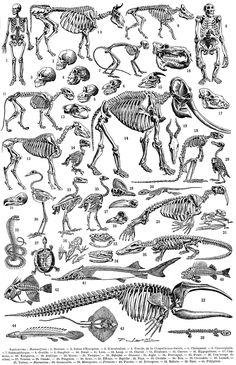 Anatomy art print skeleton skull vintage anatomy illustrations frehcn dictionary print science poster wall art decor home office decor print Dinosaur Skeleton, Skeleton Art, Skeleton Anatomy, Skeleton Makeup, Skull Makeup, Anatomy Drawing, Anatomy Art, Animal Anatomy, Vintage Printable