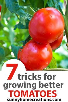 Great tips, tricks, hacks, and advice about growing big and juicy tomatoes in your backyard garden. If you love growing cucumbers, make sure you know these tips for beginner gardeners and advanced gardeners.