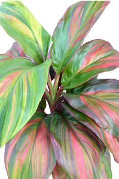 Cordyline fruticosa 'Willy's Gold' - A broad leafed cordyline with a boldly striped leaves with shades of green, gold, burgundy red and orange. A great landscaping plant or pot plant.