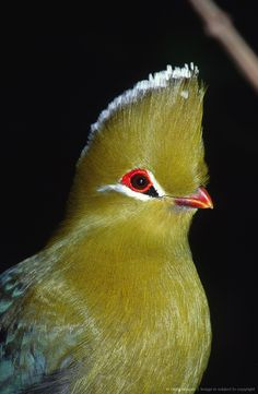 Knysna Turaco (Tauraco corythaix) profile, Tsitsikamma National Park, Eastern Cape Province, South A