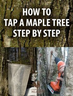 Step by step how to tap a maple tree, to collect sap that you can then make into delicious maple syrup. Step by step how to tap a maple tree, to collect sap that you can then make into delicious maple syrup.