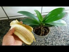 Spread banana peels on your orchid and let yourself be surprised ! - Spread banana peels on your orchid and let yourself be surprised ! Orchids Garden, Orchid Plants, Garden Plants, Gardening For Beginners, Gardening Tips, Indoor Garden, Indoor Plants, Garden Kids, Orchid Fertilizer