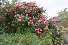 'Monsieur Tillier' Rose Photo