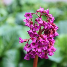 elephant's ears Bergenia 'Abendglut': Big rounded leaves, flowers Mar to April, good for dry shade