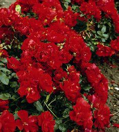 Maankateruusu Centro Rose Plants, Flowers, Centre, Plant, Planets