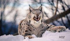 Photo Lynx grimace by Cecilie Sønsteby on 500px