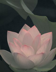 Lotus flower. So beautiful.