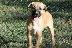 Mallory is an adoptable Boxer Dog in Brighton, TN. HI my name is Mallory. I am a lab/boxer mix girl who is about 12-14 weeks old and weigh approximately 18-20 lbs. You see our mommy was taken in by so...