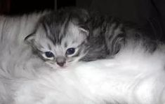 Ragamuffin Cat Pictures and Info Tiny Kitten, Kitten Love, Ragamuffin Kittens, Ocicat, Russian Blue, Cat Breeds, Kitty, Pets, Animals