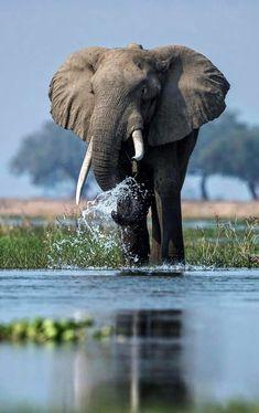 Save the Elephants! Elephants Photos, Save The Elephants, Elephant Photography, Animal Photography, African Elephant, African Animals, Majestic Animals, Animals Beautiful, Elephant Afrique