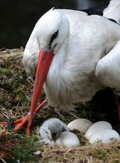 A stork watches over a newly hatched chick in its nest.