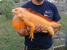 Albino iguana! My husband so wants one of these ultra bad. He is determined to get one if we can...