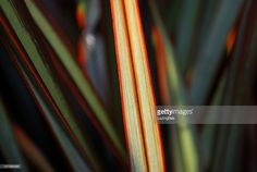 View top-quality stock photos of Sunlit Maori Queen Flax. Find premium, high-resolution stock photography at Getty Images. Royalty Free Images, Royalty Free Stock Photos, Twitter Header Photos, Twitter Headers, Kiwiana, Abstract Photos, Embedded Image Permalink, Fine Art Photography, Queen