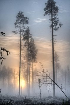 **Skinny trees in the morning mist