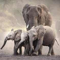 I love them💖🐘😙😙Credit : - 🐘❤🐘🐘🐘 👉For info about promoting your elephant art or crafts, send me a direct message… Elephant Love, Elephant Art, African Elephant, Elephant Images, Elephant Gifts, Cute Creatures, Beautiful Creatures, Animals Beautiful, Elephant Photography