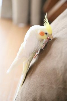 Cockatiel on a mission! :)