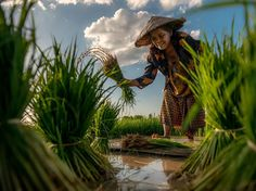 A woman harvests rice from a field in Thailand in this picture by Sarawut Intarob.