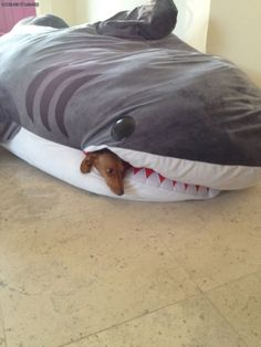 lol the OP says that this is their dog's favorite place to fall asleep... curled up in the jaws of their giant stuffed shark.