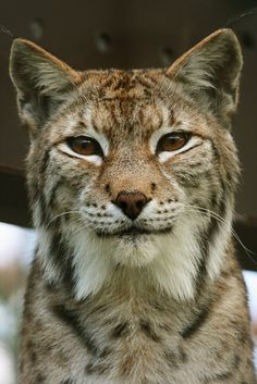 Eurasian Lynx - photo by pic_snapper, via Flickr, on Cute Weird Awesome; She was bought as a pet but she became aggressive and unpredictable as she got older. She cannot be released into the wild and will spend the rest of her life at Aspen Valley Wildlife Sanctuary in Rosseau, Ontario, Canada.