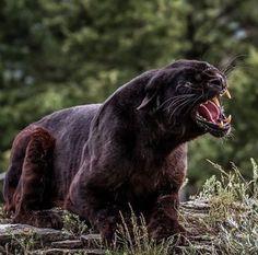 Pantera Amur Leopard, Snow Leopard, Sand Cat, Mountain Lion, Cheetahs, Pumas, Leopards, Big Cats, Lions