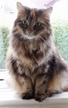 Beautiful Maine COON. SOMEONE FIND ME A KITTEN. I WANT ONE!!!!!!