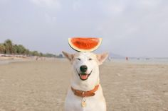 Click to see the adventures of Gluta the Dog... who was a stray in Thailand.