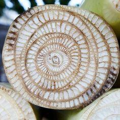 cross section of a banana tree