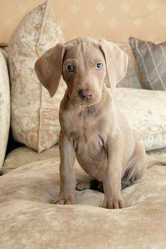 Puppy weimarner