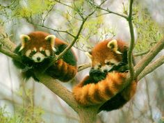 Image uploaded by Animal Heart . Find images and videos about cute, animal and Red panda on We Heart It - the app to get lost in what you love. Cut Animals, Baby Animals, Wild Animals, The Bear Family, Exotic Pets, Beautiful Creatures, Mammals, Panda Bears, Wildlife