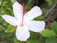 White Hawaiian Hibiscus