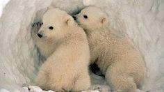 Lední medvěd vypadá jako celkem roztomilé zvířátko, že?
