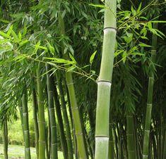 Phyllostachys dulcis — Sweetshoot Bamboo