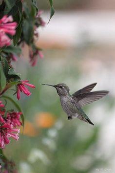 Hummingbird feeding in flight. #Hummingbird