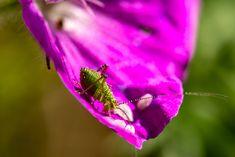 Nymphe-Punktierte-Zartschrecke auf einem Blütenblatt, Wald, Tiere, aufgenommen im Mai