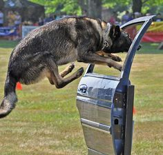 """From K9 Facebook Group.  What an amazing photo and fabulous dog!!  """"License and Registration, please!"""""""