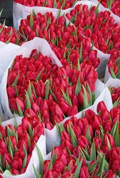 .bundles of red tulips