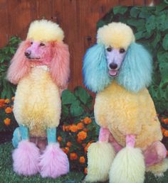 rainbow poodles like in the Juicy ads.reminds me of the AP we had with the poodle that was a different color each month! Love My Dog, Funny Animals, Cute Animals, Poodle Cuts, Creative Grooming, Pet Grooming, Kitsch, Yorkie, Dogs And Puppies