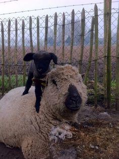 Lol! Farm Animals, Cute Animals, Corgis, Animal Paintings, Sheep, Goats, Lol, Pretty Animals, Cutest Animals