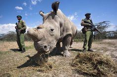 El rinoceronte blanco Najin es visto con sus escoltas, un par de militares armados, que lo protegen en la zona de conservación Ol Pejeta, de Kenia, África, el 5 de noviembre de 2012. Najin y Suni son dos rinocerontes blancos que tienen protección personal las 24 horas del día pues la caza indiscriminada los ha ubicado en la lista de animales en peligro de extinción. Su caza se debe a sus cuernos tienen un alto precio en el mercado negro que ...   más El rinoceronte blanco Najin es visto con…
