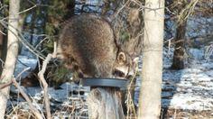 raccoon in bird feeder at lynde shores - whitby