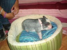 Are you thinking of owning a teacup pig as your new pet? Teacup pigs are great companions. They are very entertaining. Teacup Pigs, Funny New, Haha, Tea Cups, Entertaining, Pets, Little Pigs, Animals And Pets, Teacup Pig