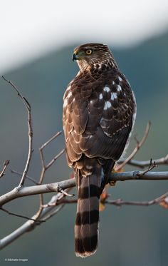 Cooper's Hawk in the evening. I saw many of these in desert Arizona. Smart hunters. They team up and run prey ragged. Then, they fight for the spoils. Quite a sight.