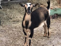 Types Of Goats, Baby Ducks, Animals, Animales, Animaux, Animal, Animais, Dieren