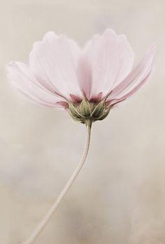 Schöne rosa Blüte