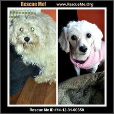 Rescue Me ID: 14-12-31-00350Maggie (female)  Bichon Frise  Age: Adult  Compatibility:Good with Most Dogs, Good with Most Cats Health:Spayed, Vaccinations Current  Maggie is a six year old bichon who was rescued from a puppy mill, where she received no socialization or training throughout her entire life. Maggie never really learned what it means to be a dog -- or a loved family member. Since arriving at the shelter in November, Maggie has been in a foster home, where she is ...