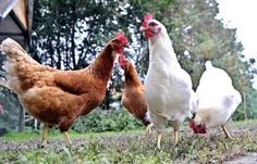 WINSLOW - The Town Council has taken initial steps to approve new rules that will allow residents to keep chickens on their property for personal use. The proposed ordinance lays out standards for keeping chickens that residents would have to follow, including restrictions on the number and gender of birds, enclosures and housing.