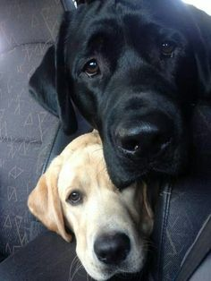 """""""But humans drive the cars and decide when dogs eat and where dogs live and clearly this was something else in their power - they could find their dogs when they needed them."""" – W. Bruce Cameron (author, A Dog's Journey) Picture of Labrador Retriever"""